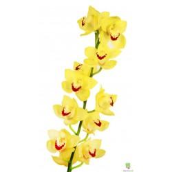 Орхидея ветка