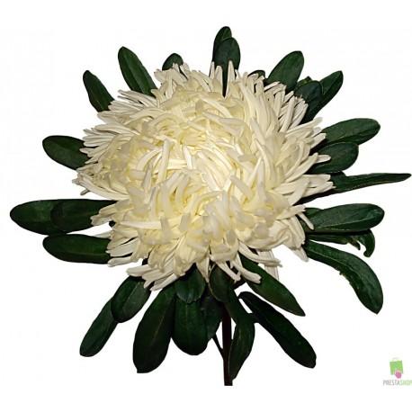 Хризантема шамрок